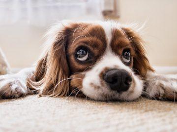 jak usunąć plamy z dywanu po psie